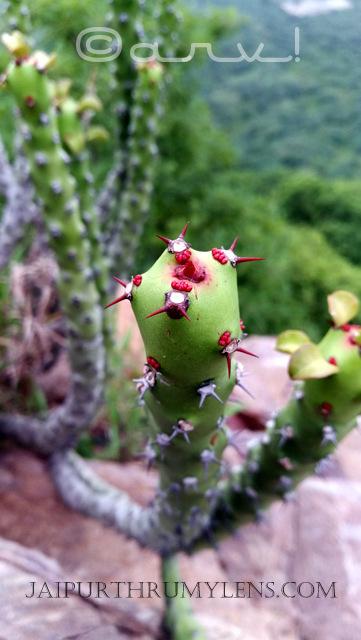 Euphorbiaceae-Euphorbia-Caducifolia-wild-cactus-like-danda-thor