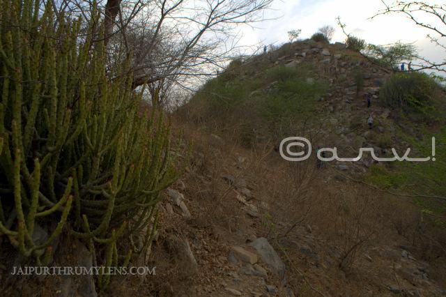 trekking-jaipur-aravali-hills-Leafless-Milk-Hedge-danda-thor