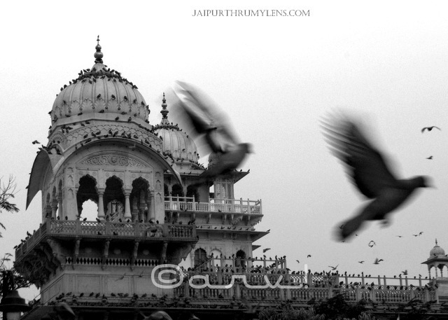 albert-hall-museum-jaipur-pigeons-wordless-wednesday-jaipurthrumylens