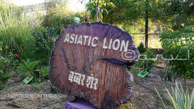 asiatic-lion-nahargarh-zoological-biological-park-jaipur-photo