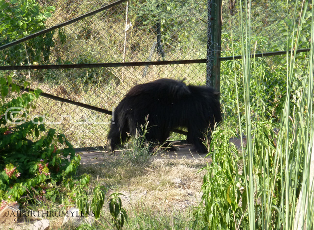 indian-black-bear-nahargarh-zoological-biological-park-jaipur-photo