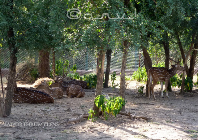 indian-deer-nahargarh-zoological-biological-park-jaipur-photo
