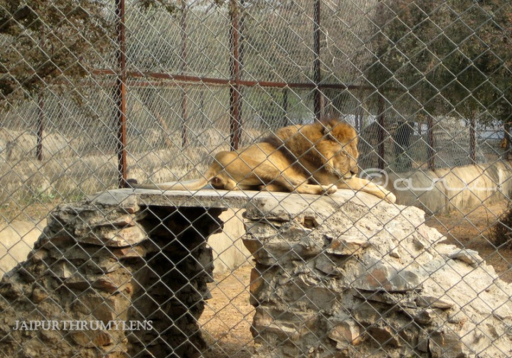 indian-lion-photo-jaipur-zoo-nahargarh-zoological-biological-park-kukas