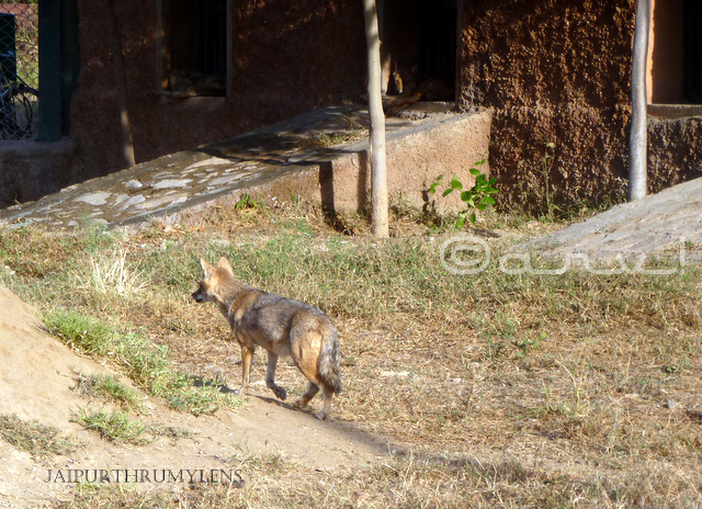 jackal-picture-nahargarh-biological-park-jaipur-zoo