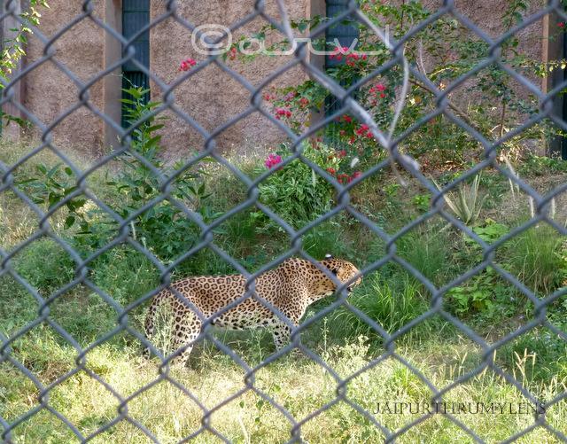 panther-baghera-jaipur-zoo-nahargarh-zoological-biological-park-photo