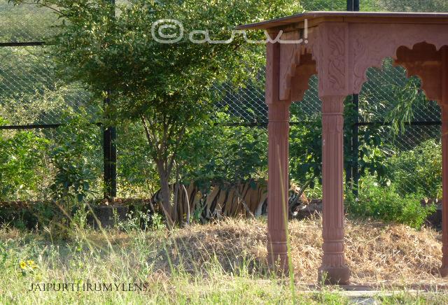 royal-bengal-tiger-photo-jaipur-zoo-nahargarh-zoological-biological-park
