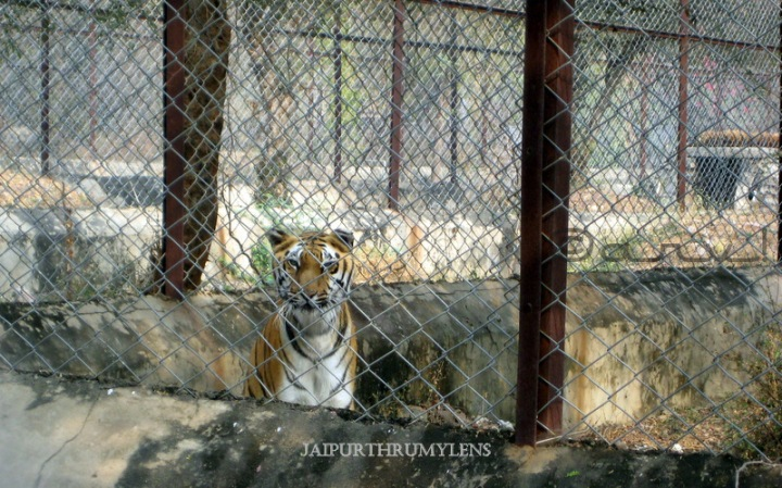 royal-bengal-tiger-photo-jaipur-zoo-nahargarh-zoological-park-kukas-indian-wildlife