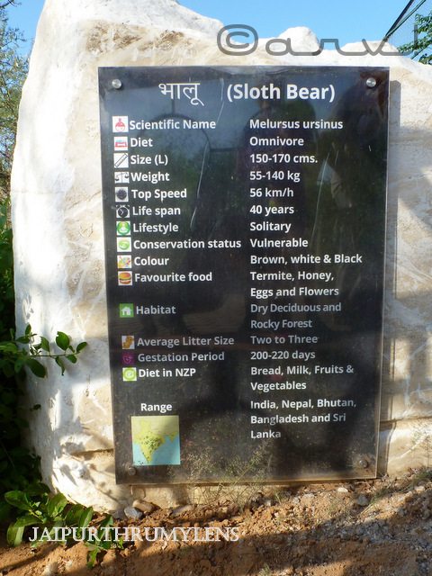 sloth-bear-information-nahargarh-zoological-biological-park-jaipur-image