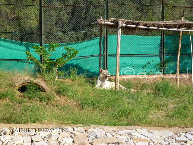 white-tiger-nahargarh-zoological-biological-park-jaipur-photo