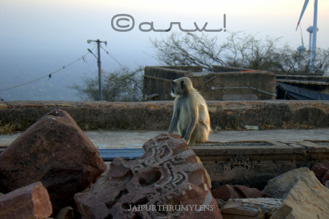 indian-langur-monkey-Colobinae-leaf-eating-picture-harshnath-temple-rajasthan
