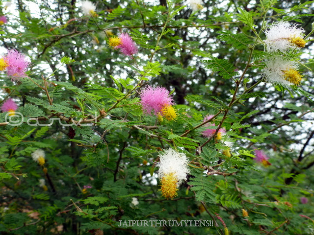 chinese-lantern-tree-flower-Dichrostachys-cinerea