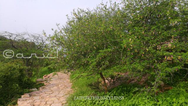 Dichrostachys-cinerea-tree-aravali-hills-rajasthan-india