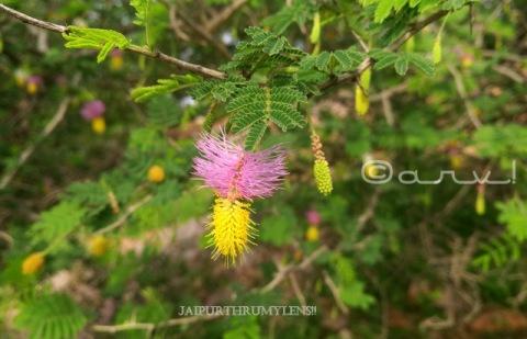 flower-Dichrostachys-cinerea-sickle-bush-bell-mimosa