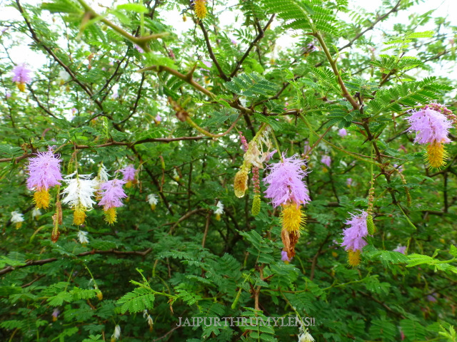 flower-sickle-bush-tree