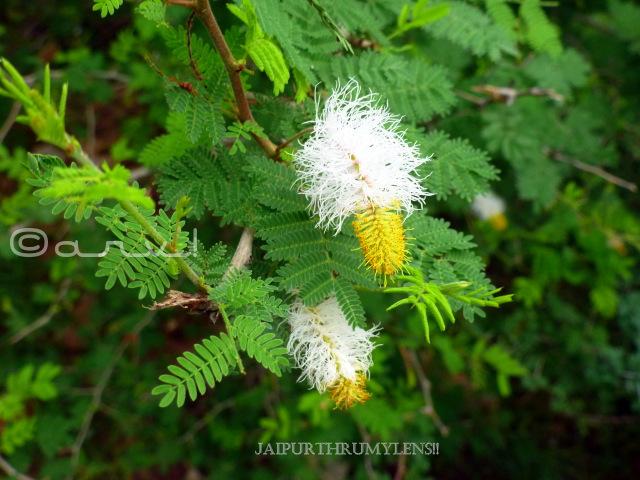 goya-khair-Dichrostachys-cinerea-tree-aravali-forest-rajasthan