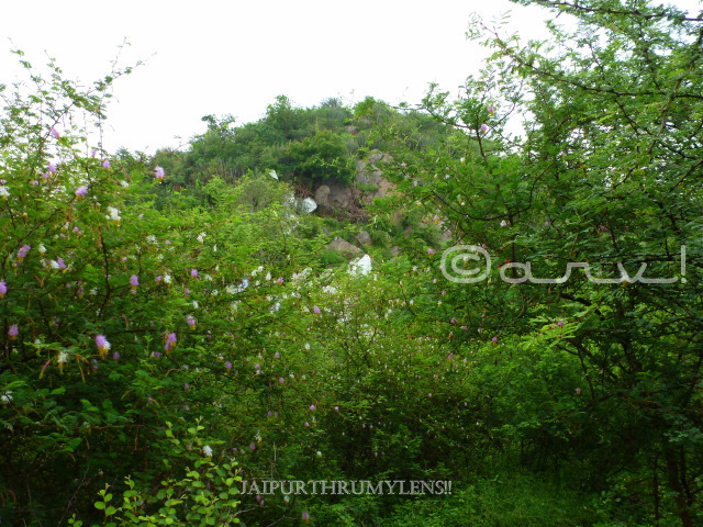 sickle-bush-tree-smriti-van-jaipur-aravali-hills