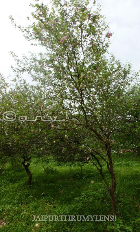 tree-of-aravali-hills-Dichrostachys-cinerea-goya-khair-mimosa