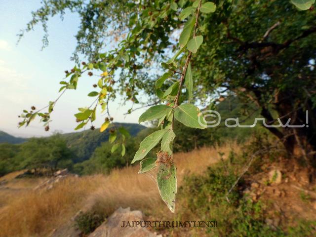 anogeissus pendula leaves rajasthan
