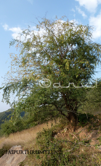 anogeissus pendula tree in Jaipur forest rajasthan