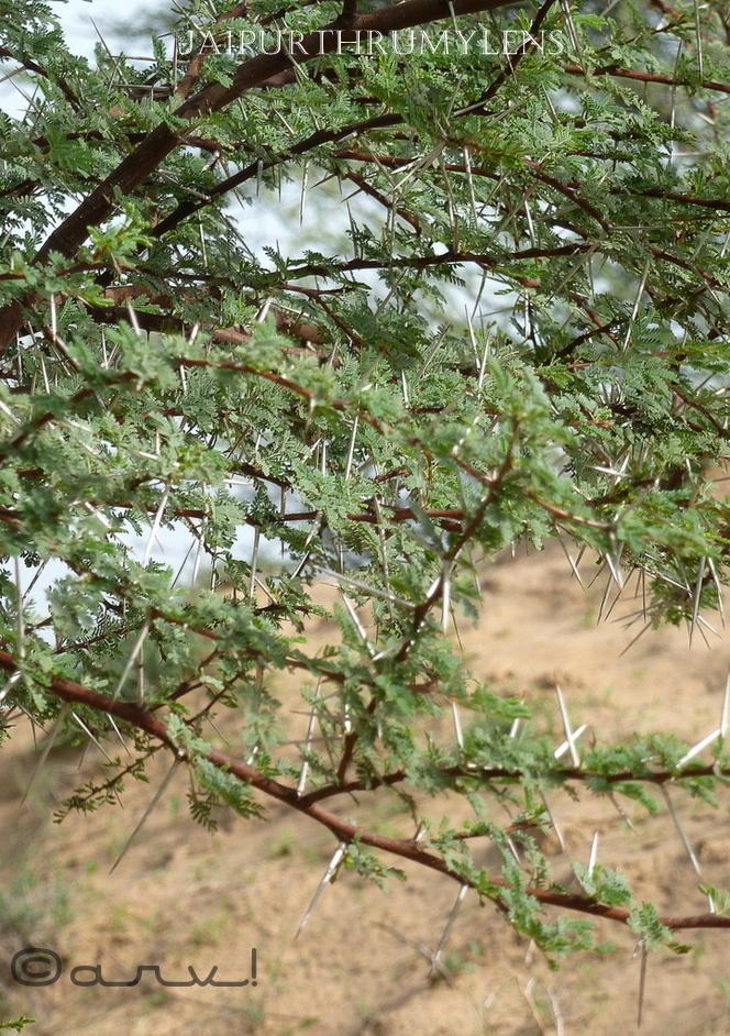 prosopis-juliflora-jaipur-rajasthan-india-thorns-vilayati-kikar-tree