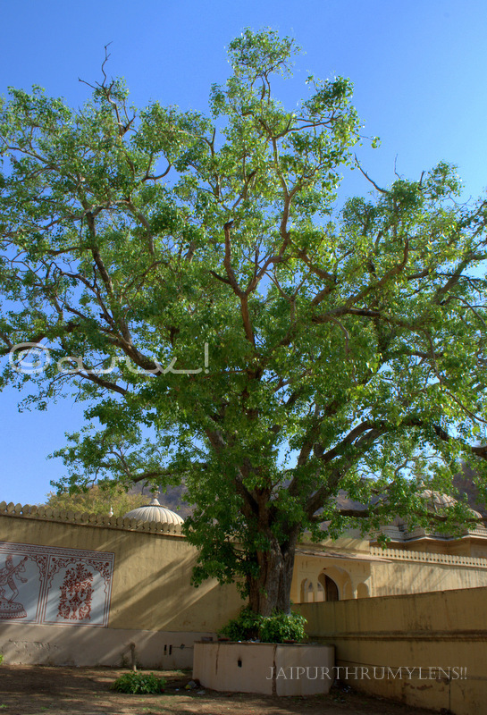 big-ficus-religiosa-tree-peepal-jaipur-india