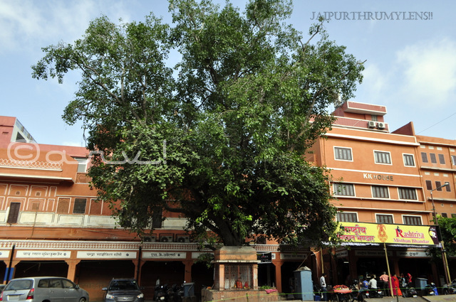 big-peepal-tree-in-jaipur-walled-city