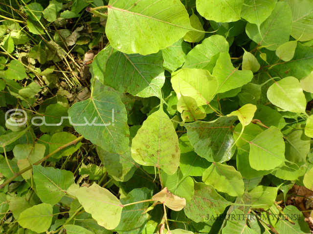 haunted-peepal-tree-jaipur-leaves