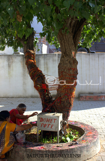 indian-women-worshipping-peepal-tree-pushkar