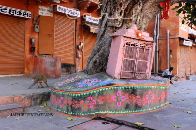 monkey-famous-hamuna-temple-jaipur-under-peepal-tree