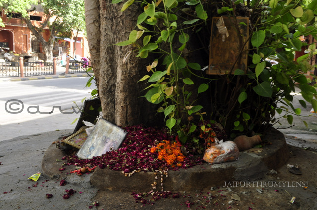 peepal-tree-jaipur-disposing-old-flowers-hindu-god-idols