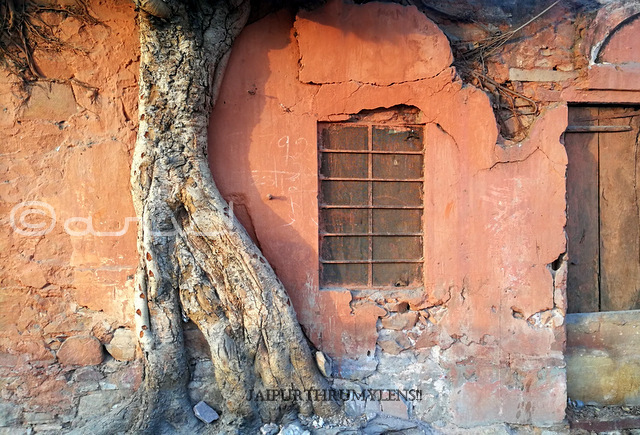 trees-of-jaipur-peepal-tree-root