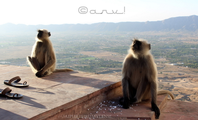 black-face-langoor-monkey-savitri-temple-pushkar