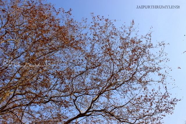 dhok-anogeissus-pendula-tree-ranthamore-national-park-rajasthan