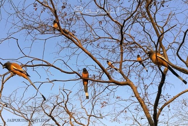 indian-rufous-treepie-habitat-ranthamore-park-rajasthan