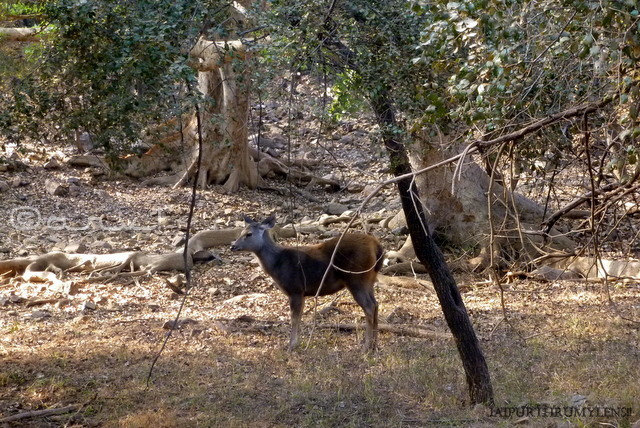 ranthamore-national-park-rajasthan-wildflife