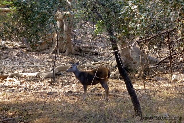ranthamore-national-park-rajasthan-wildflife