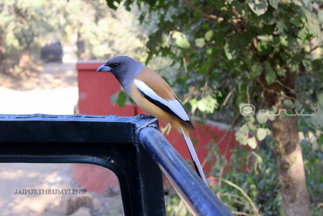 rufous-treepie-bird-Dendrocitta-vagabunda-india-ranthambore-park