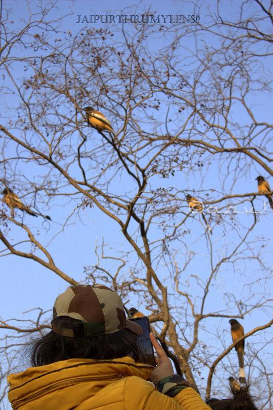 rufous-treepie-wildlife-travel-ranthambore-park-india