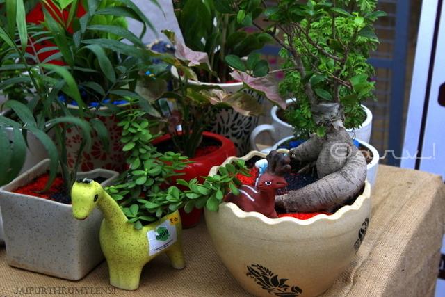 jaipur-bonsai-plants-farmers-market-clarks-amer