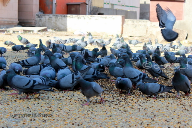 jaipur-pigeon-feeding-spot-sirehdyodi-gate-photo-tour