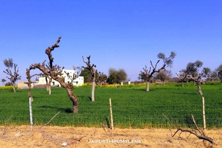 khejri-tree-Prosopis cineraria-uses-rajasthan-village-farm-road