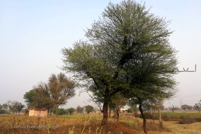 prosopis-cineraria-khejri-tree-india-use