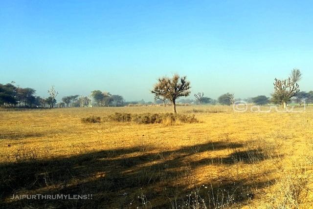 prosopis-cineraria-khejri-tree-plantation-rajasthan