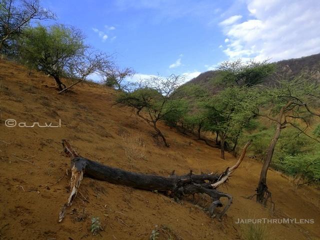 acacia-nilotica-pdf-babul-tree-rajasthan
