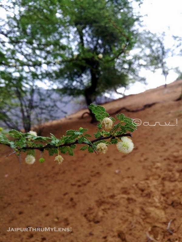 acacia-tree-india-babool-flower-rajasthan