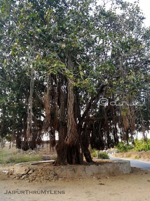 banyan-tree-india-picture