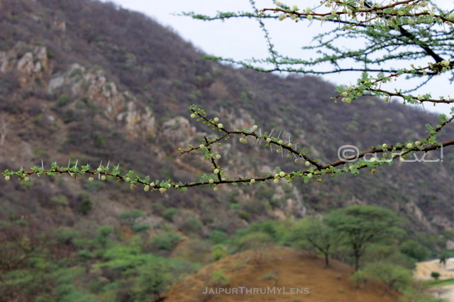 gum-arabica-tree-babul-best-for-rajasthan-desert