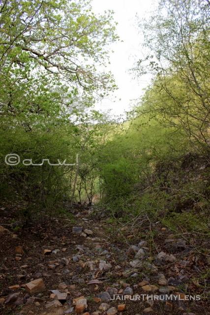 anogeissus- pendula-tree-jaipur-trekking-route