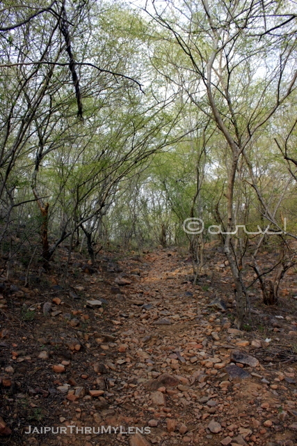 hathni-kund-jaipur-trekking-route-lined-with-anogeissus pendula-tree
