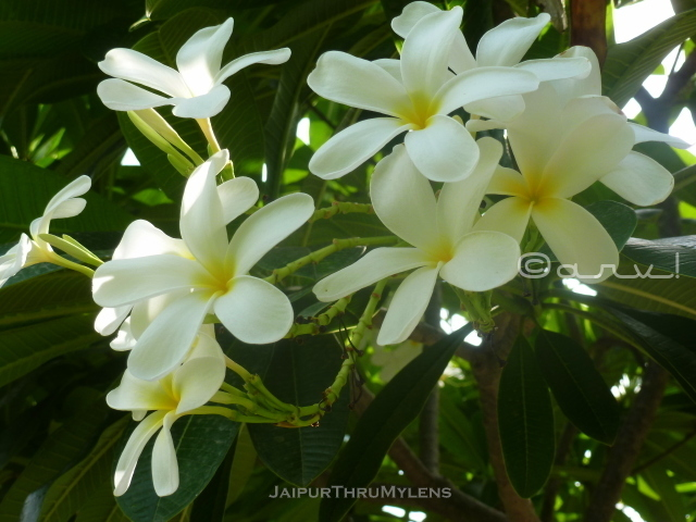 champa-flower-with-tree-plumeria-information-jaipur-ramniwas-garden